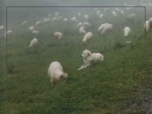 roorsprong met kudde